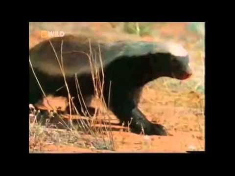 I know it has been posted a 1000 times, but since my friends call me the Honey Badger I thought it was appropriate