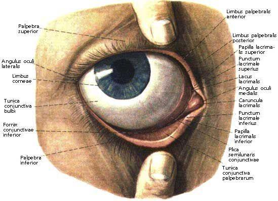 limbus palpebralis anterior posterior - Google Search