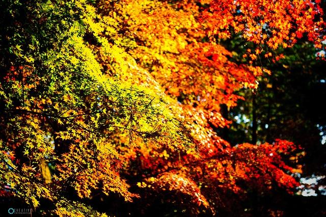 Momiji - Japan by Alexandre Creative, via Flickr