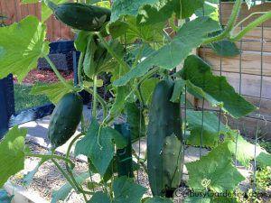 cucumbersGrowingVertically