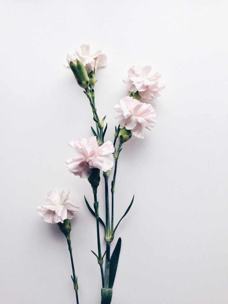 "throughthechapters: "" Dianthus caryophyllus Also known as carnations. They express love, fascination and distinction. Pink carnations symbolise a mother's undying love. """