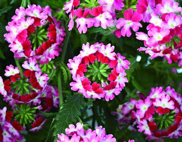 Цветы для балкона и их фото. Однолетние цветы для балкона и лоджии. Балконное цветоводство.