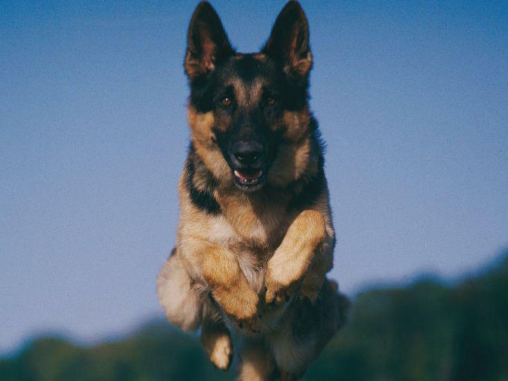 Datos curiosos sobre los perros Pastor Aleman | eHow en Español