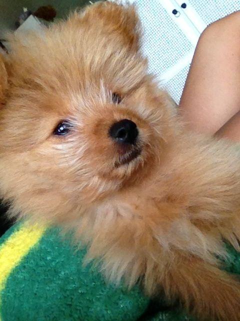 Joey the #pomapoo #halftoypoodle #halfpom