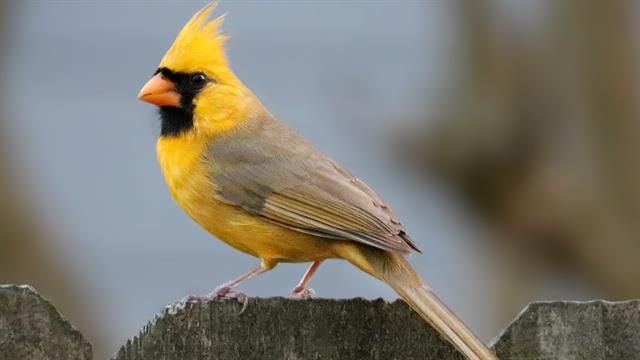 Experts propose different theories for why bird's plumes have a mysteriously mustard hue.