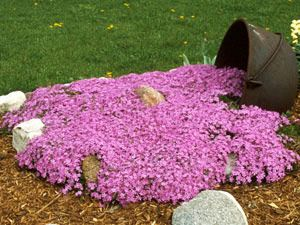 Creeping Phlox Emeald Pink creeping phlox - drought tolerant groundcover. Thrives with