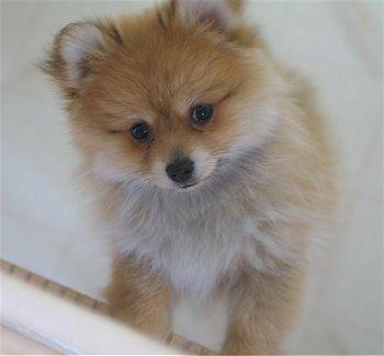A Pomsky! I want this little Teddy Bear dog