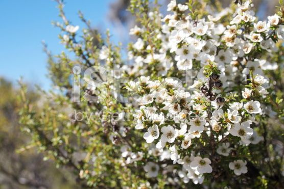 Manuka (Leptospermum scoparium) Tea Tree royalty-free stock photo