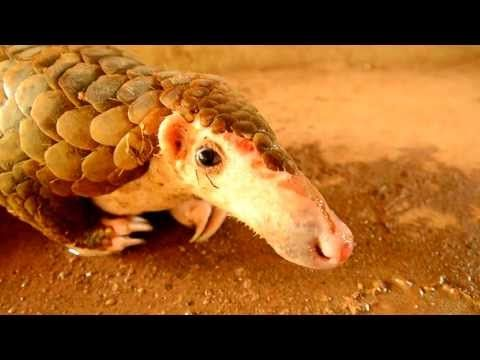 Thai wildlife: Pangolin (scaly anteater) Endangered species saved from dogs - buriram - Thailand - YouTube