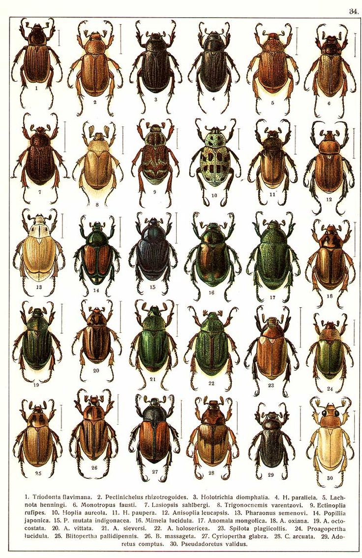 """G.G. Yakobson (1905-1915) - """"Beetles of Russia"""": table 34"""