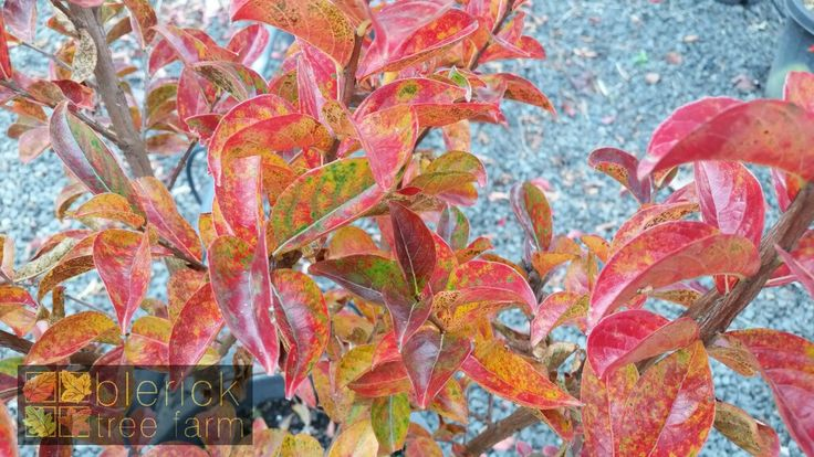 Lagerstroemia x indica – Sioux – Purchase Bare Rooted Trees Online