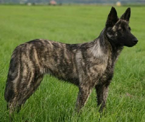 Dutch Shepherd Colors | Since that one is a little light in color, here's a darker brindle dog ...