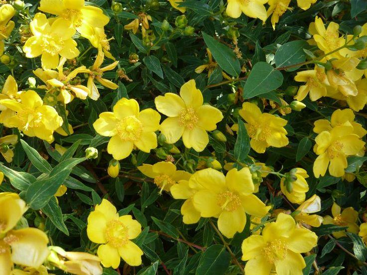 Hypericum calycinum / Niedriges Johanniskraut – Mit der leuchtend gelben Blüte ist das Niedrige Johanniskraut ein schöner Farbtupfer im Garten. Es bildet schnell Ausläufer und ist damit als Bodendecker gut geeignet und kann sowohl an sonnigen wie auch schattigen Standorten gepflanzt werden.