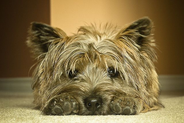 A favorite pose of Cairn Terriers .. mine do this all the time, too; it makes you think.