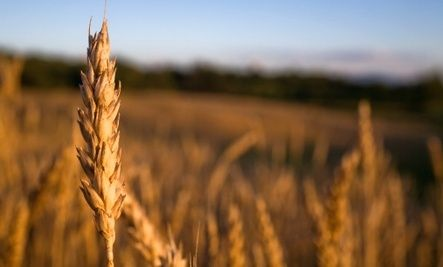 Study Supports Eating Wheat, Despite the Gluten-Free Trend