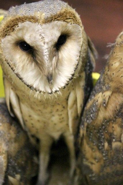 The heart-shaped faced Barn Owl at Ubizane. ©Ettione Ferreira