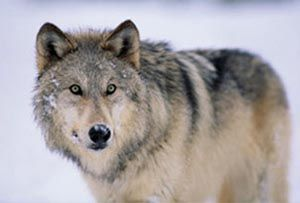 Adopt a Wolf - give the gift of wolfdom