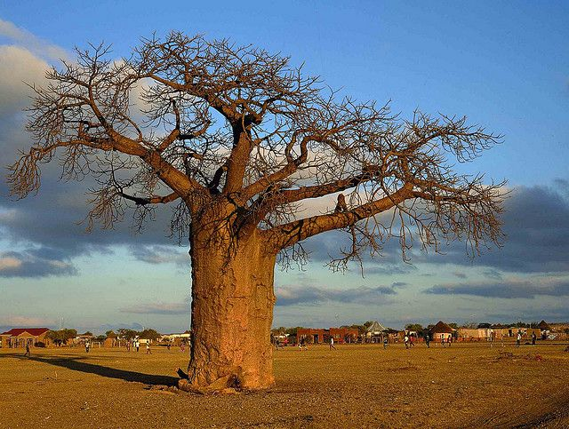 A Baobab (tree of life) in the Veld.