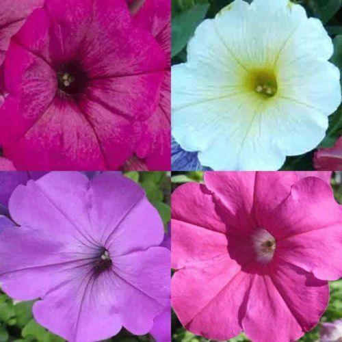 Petunia How To Grow Care Blooming Season Plants For