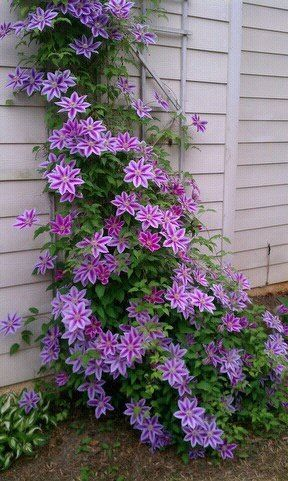 Clematis on shady side of the house. – Bahçe fikirleri