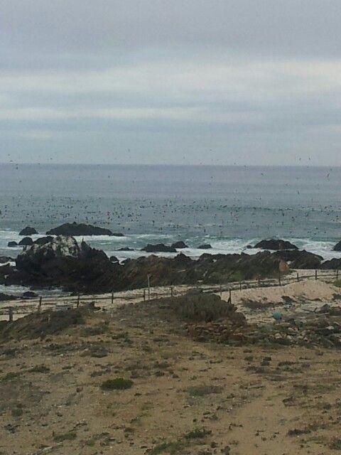 Pajarada en la playa las conchitas punta de choros chile www.lascubasdecydonia.cl