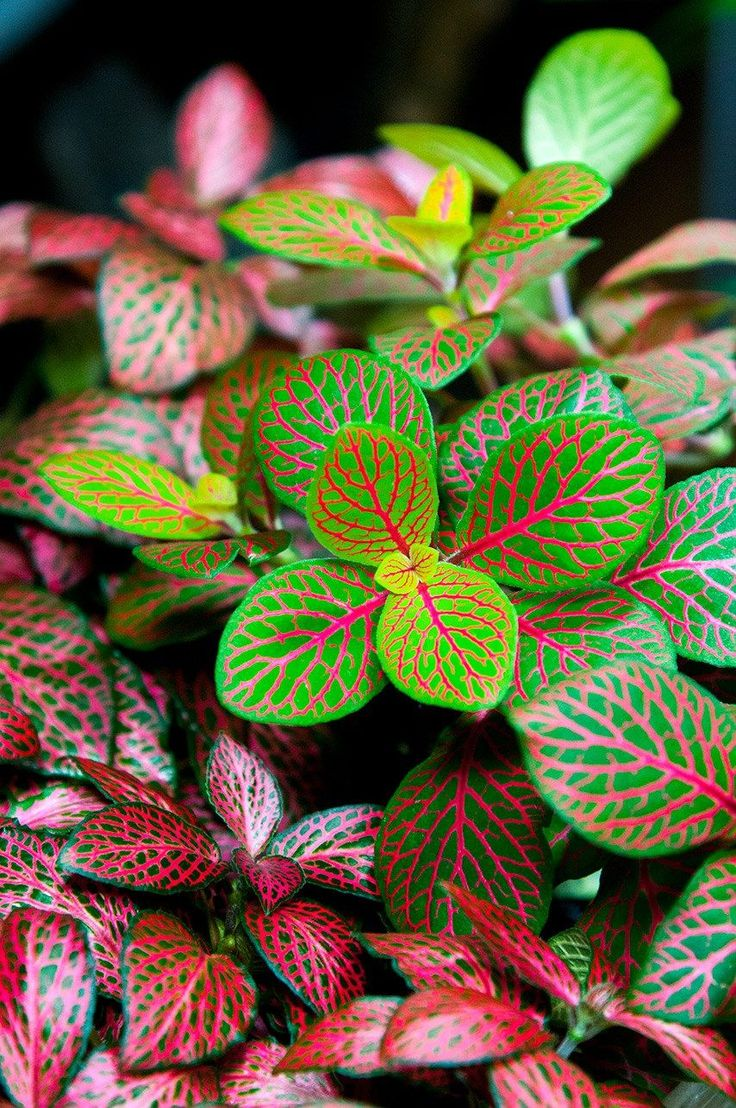 Adding tropical colors: Fittonia (Nerve plant) #houseplant