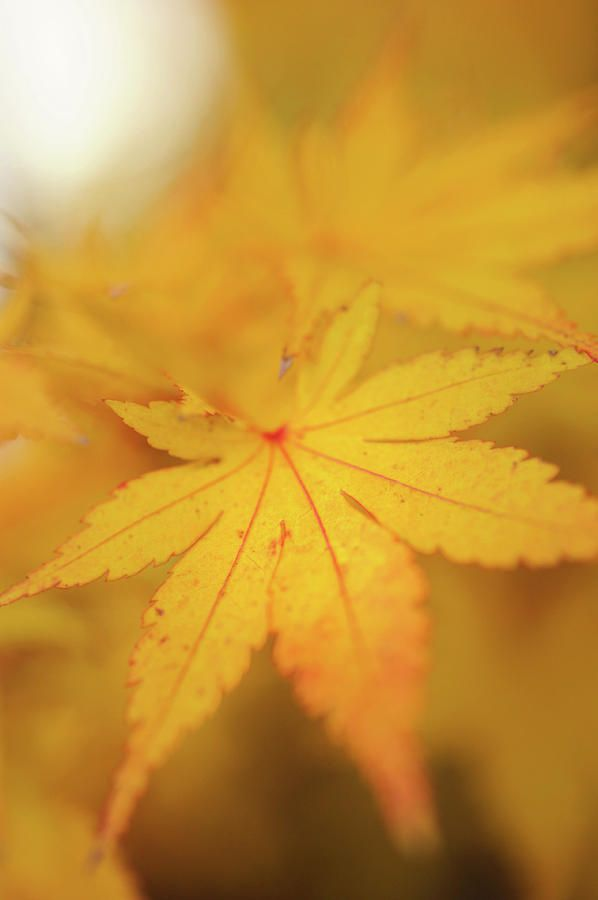 Romance With Autumn. Japanese Maple Leaves 9 by Jenny Rainbow