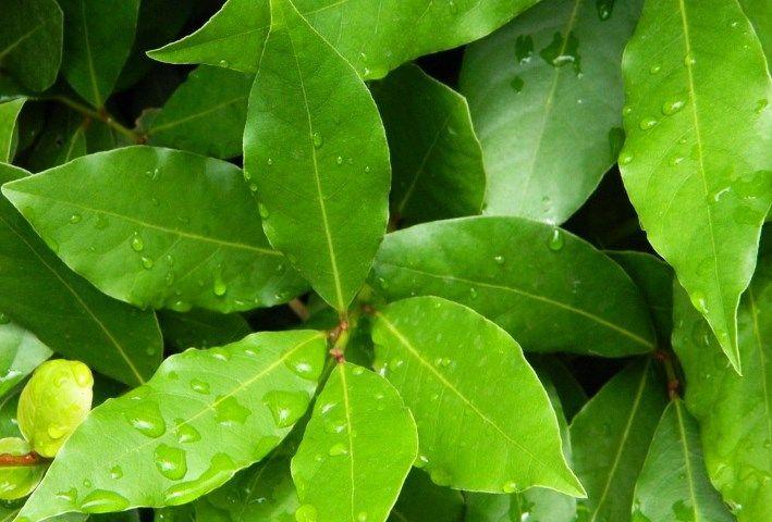 Если взглянуть на химический состав лаврового листа, с удивлением можно отметить, что этой ароматной зелени есть чем похвастаться в плане содержания полезных веществ. Взгляните сами: «лаврушка» является источником витаминов A, C, B и PP, содержит селен и марганец, магний и фосфор, калий, кальций, медь и многие другие минералы.