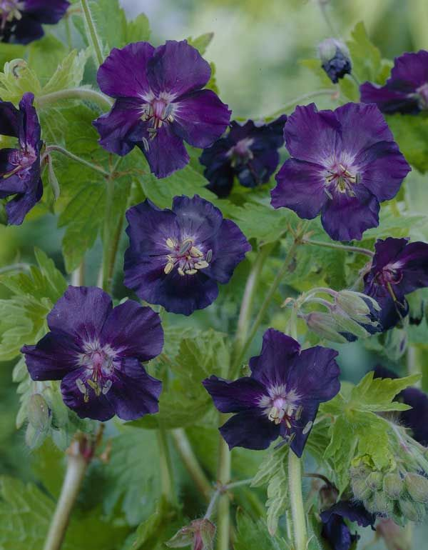 Geranium phaeum 'Raven' Pot size: 1 Litre Plant size: 45cm (18in) Growing condition: Partial - full shade Flowering season: May to June