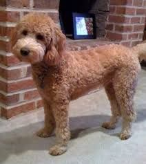 Image result for curly goldendoodle haircuts