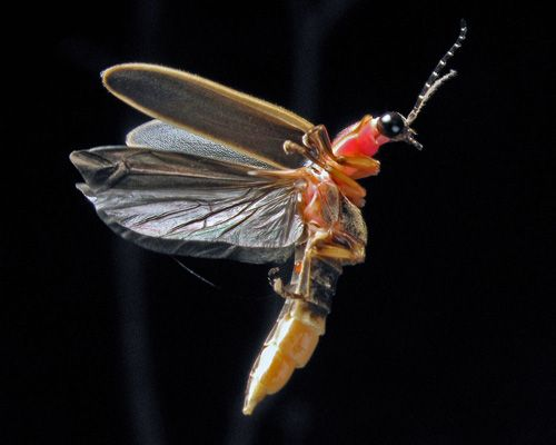 Firefly Lightning Bug Facts Pictures Information About Insect Disearance