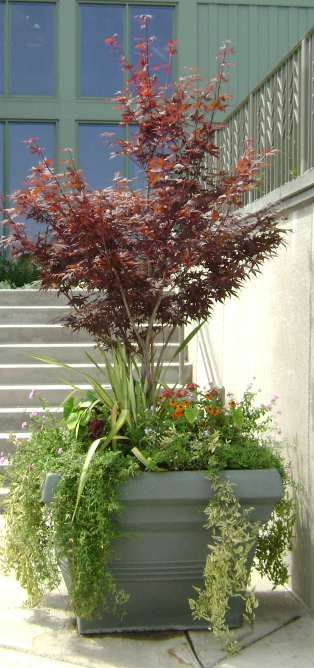 A Japanese Maple In A Large Planter With Interesting Under