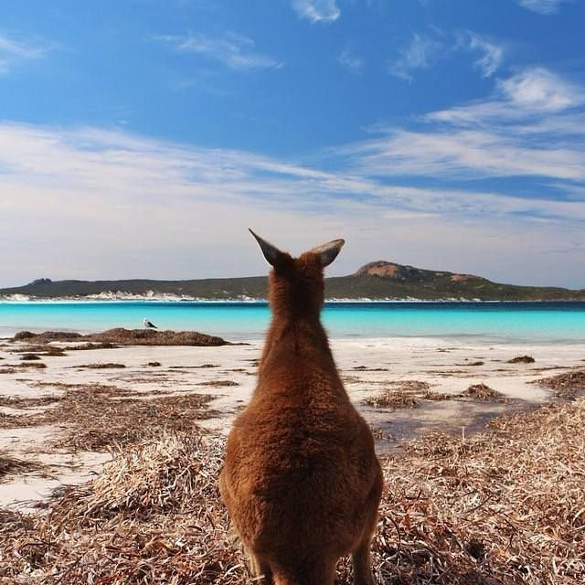 Checking out Lucky Bay in Western Australia - it seems even #kangaroos appreciate a stunning beach view! @mrs_pooley captured this shot at Cape Le Grand National Park, a pristine area near #Esperance that is known for its incredible scenery and idyllic #beaches.