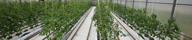 Tabele complete pentru cultivarea legumelor (temperaturi optime de sadire, repicare, timpi de dezvoltare etc)