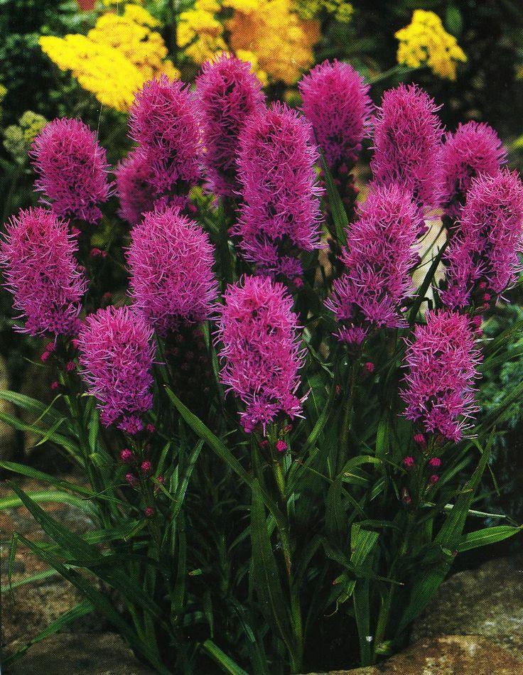 Многолетние цветы с названиями и картинками
