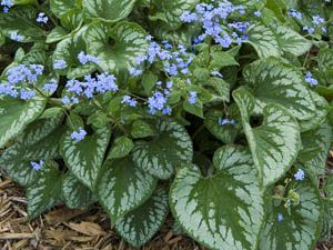 Brunnera Emerald Mist is a reliable deer proof shade plant.  Drought tolerant, which is good because the problem spot near our front door is a bit sheltered from sun and rain.