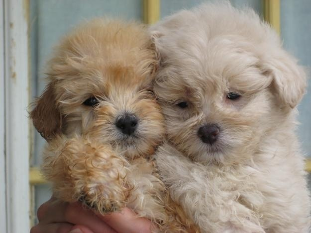 #maltipoo #dogs #cute.          Ivy and Ozzy when they were babies and they look exactly a like!