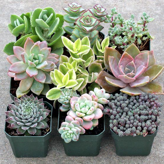 A selection of pastel colored succulents in soft shades of pink, green, blue, purple, and white.