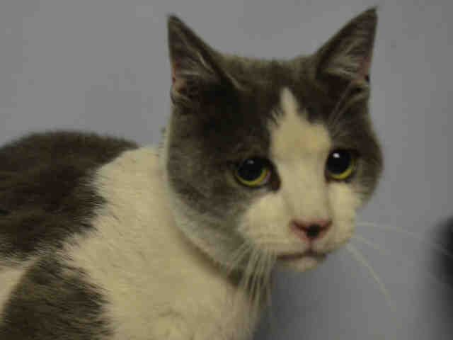 DUSTY - A1098060 - - Brooklyn  Please Share:***TO BE DESTROYED 12/04/16*** AFFECTIONATE PURR-BUG DUSTY TESTED POSITIVE FOR FELV AND NEEDS A RESCUE ANGEL TONIGHT!! -  Click for info & Current Status: http://nyccats.urgentpodr.org/dusty-a1098060/