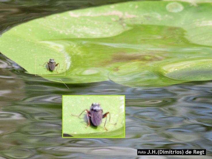 SCATHOPHAGIDAE hydromyza livens -