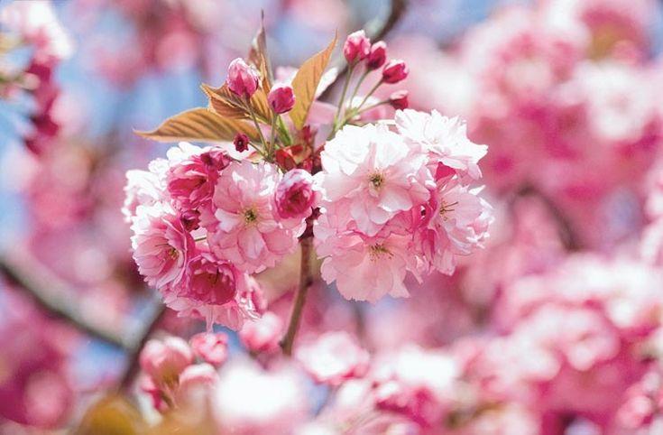 Prunus 'Kanzan',Japanese Flowering Cherry 'Kanzan', Prunus 'Kwanzan', Prunus 'Sekiyama', Flowering Tree, Pink flowers, Double cherry flowers