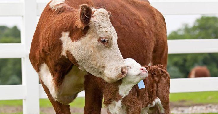 Vacas mãe formar laços fortes com seus bezerros.