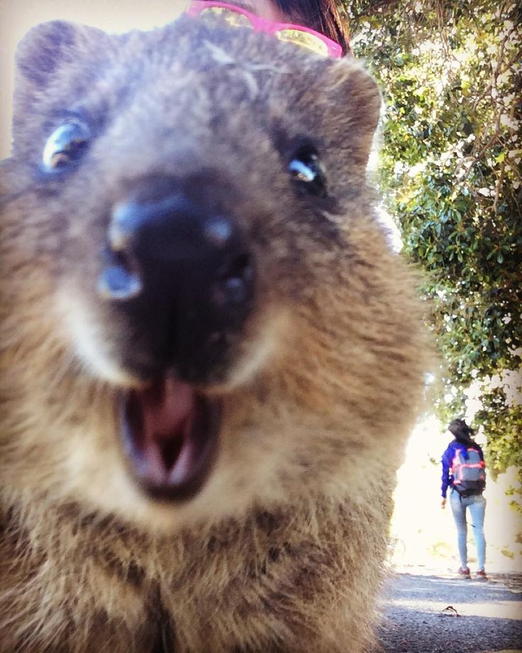 Never be able to take a perfect selfie with quokka  クォッカとのセルフィーはレベルが高いw  #quokka #rottnestisland #perth #australia #westernaustralia #wa #cycling #island #sightseeing #lifeinperth #selfie #クォッカ #ロットネスト島 #パース #オーストラリア #西オーストラリア #パース生活 #観光 #サイクリング #島 #mami留学記録perth #セルフィー #ブサイク #でもかわいい by naradeerlove http://ift.tt/1L5GqLp