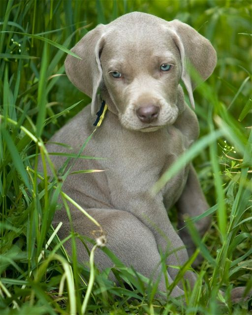 love Weimaraners my kiras pups looked just like this