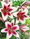 Image of Garden Pleasure Orienpet Lily