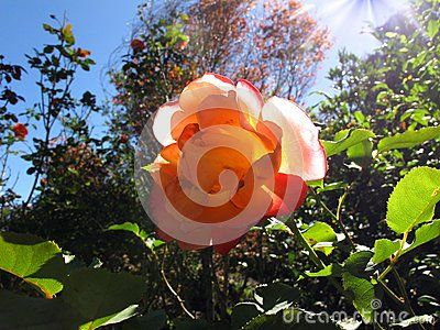 A beautiful pink rose brightly lighted by the autumn sun in a garden