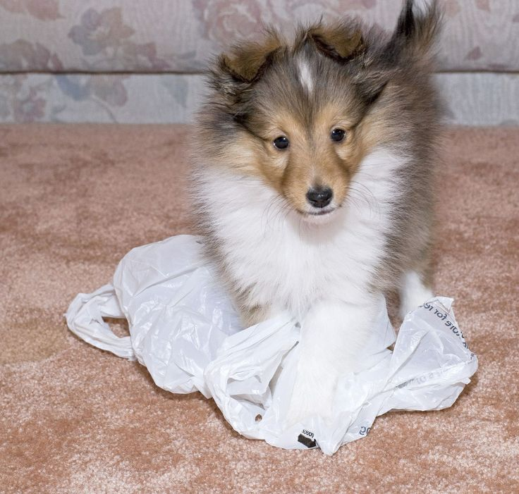 Sheltie puppy play!