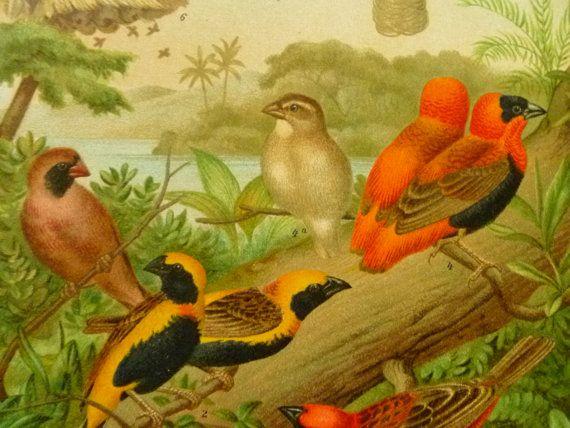 old pictures of weaver birds  1903 antique by DecorativePrints