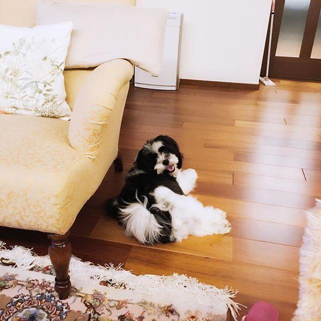 休憩中のルイ様 #japan#tokyo#dog#マルチーズ#シーズー#ミックス#犬#ペット#可愛い#犬派#雑種#犬バカ部#パンダ#マルシーズー#黒#白#聖蹟桜ヶ丘#犬生活#犬好き#やんちゃ#凶暴#食いしん坊#愛犬#デザイン#絵#グッツ#いぬ#わんこ