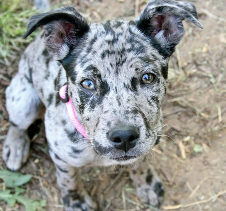 Catahoula Leopard Mix